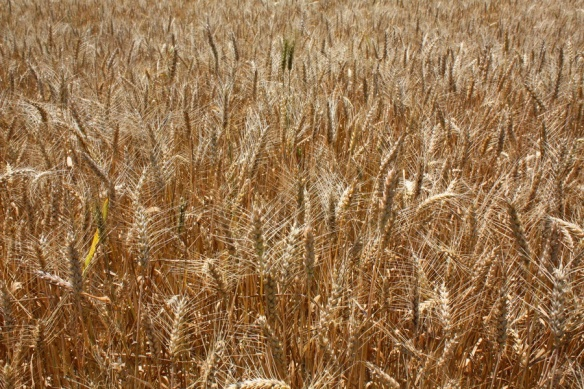 Surry Wheat_resize
