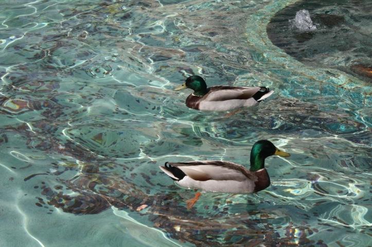 duck art_resize